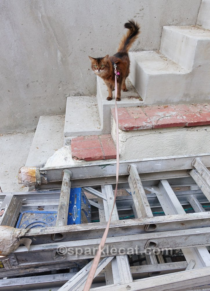 Somali cat on stairs looking at painter's ladders