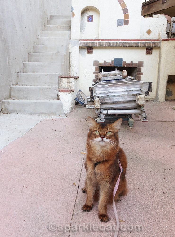 Somali cat sitting in front of ladders