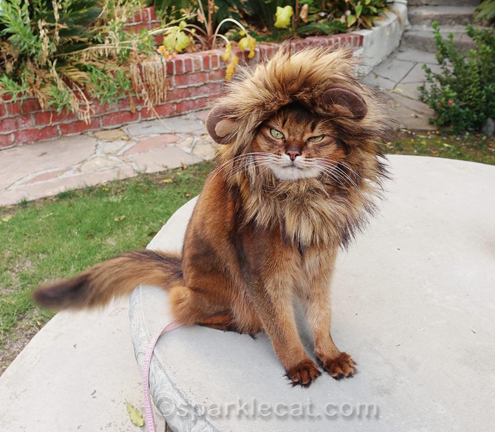 grouchy somali cat wearing lion mane