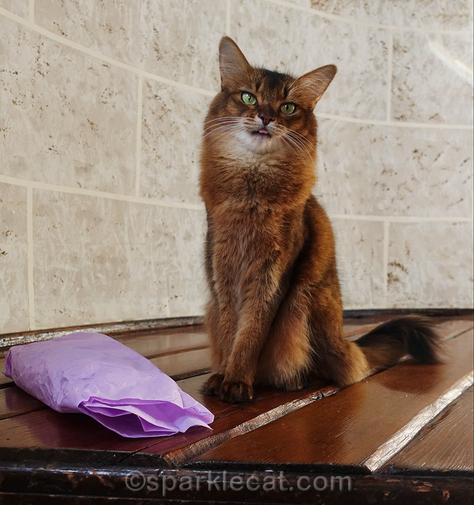 somali cat with tongue out and gift