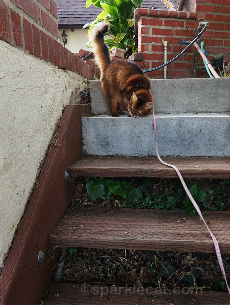 somali cat rubbing face on stairs