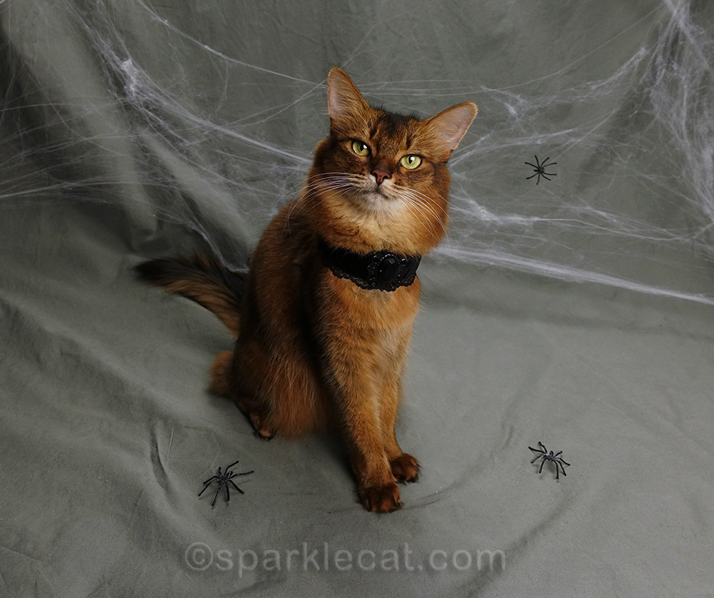 somali cat with choker posing for Halloween