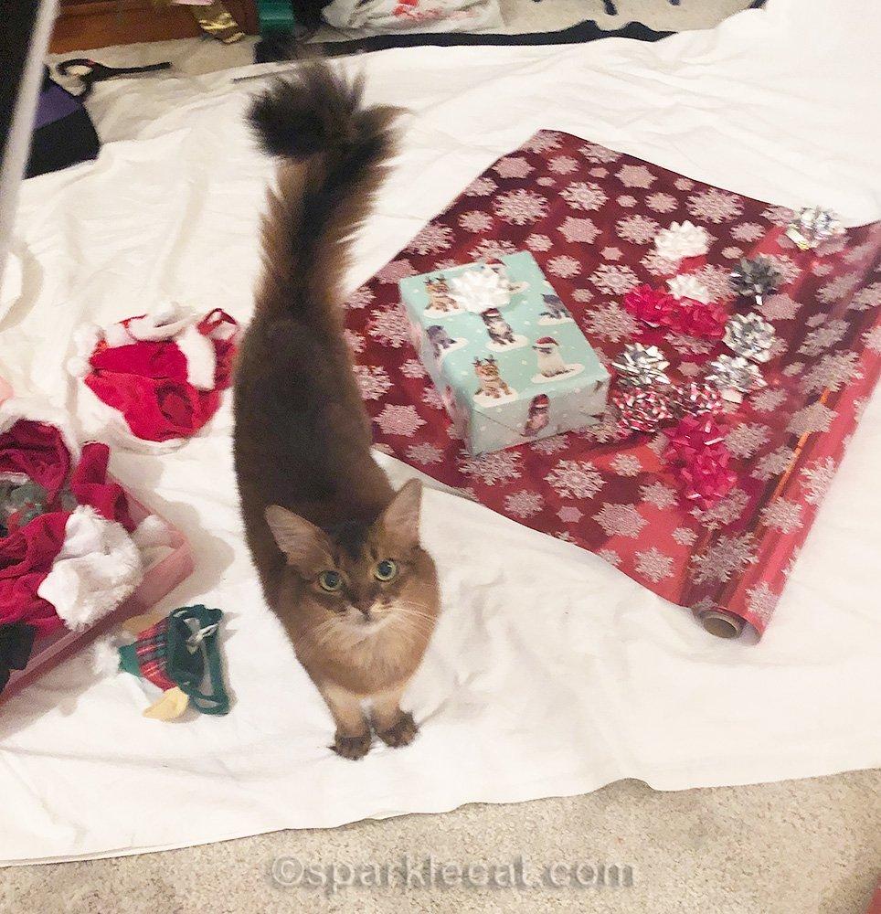 somali cat ready for santa cat photo shoot