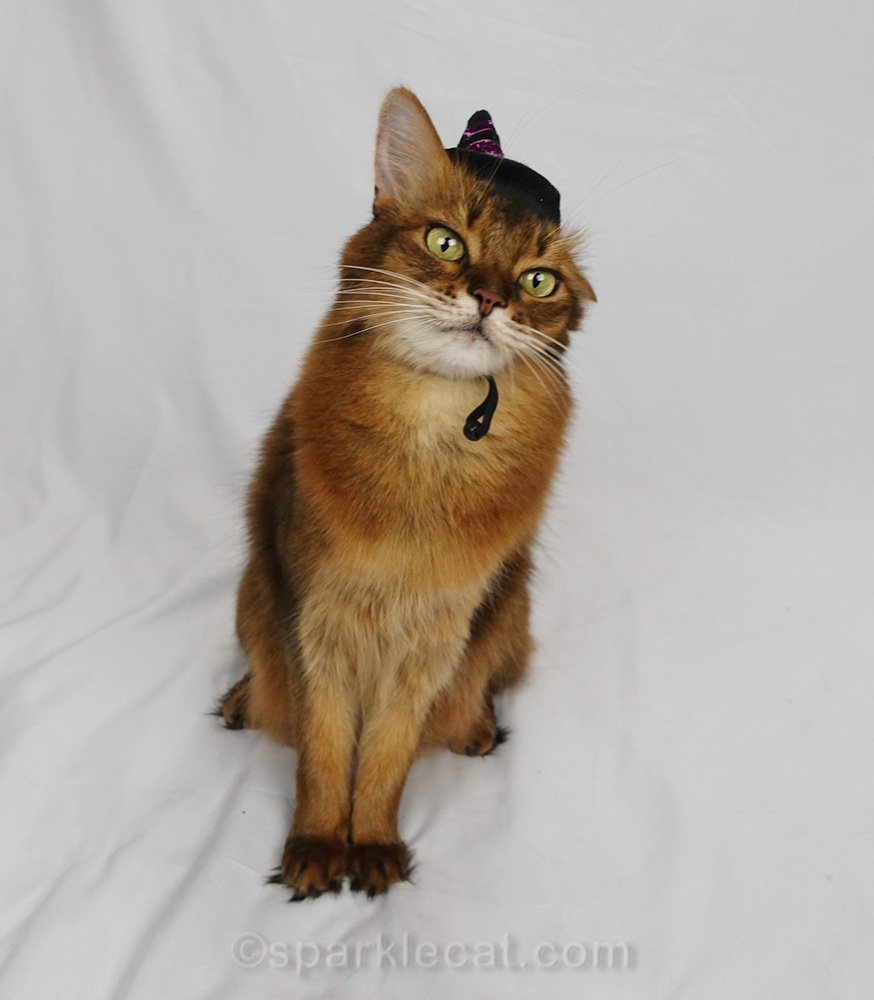 somali cat with witch hat, missing one ear