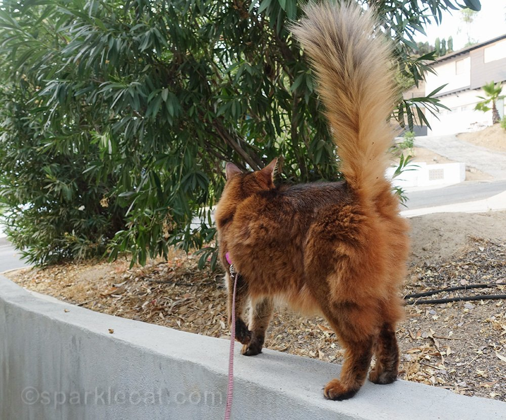 back end of Somali cat on wall