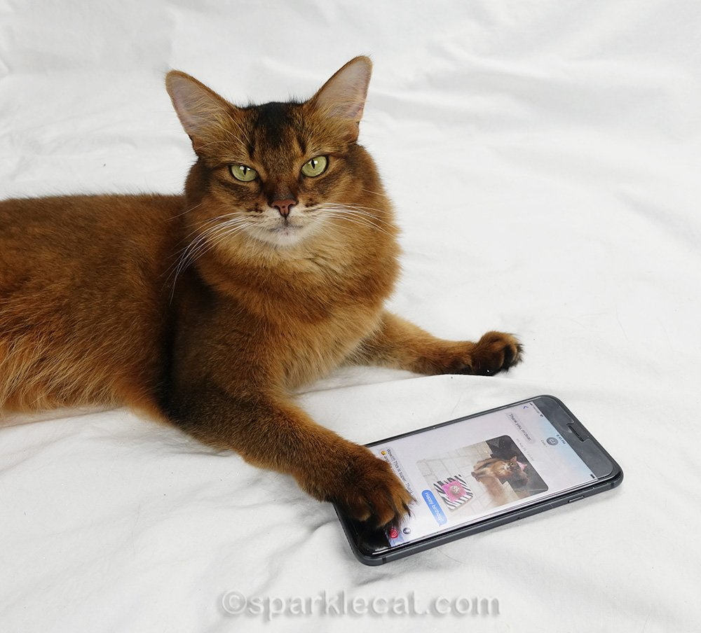 somali cat texting on iPhone