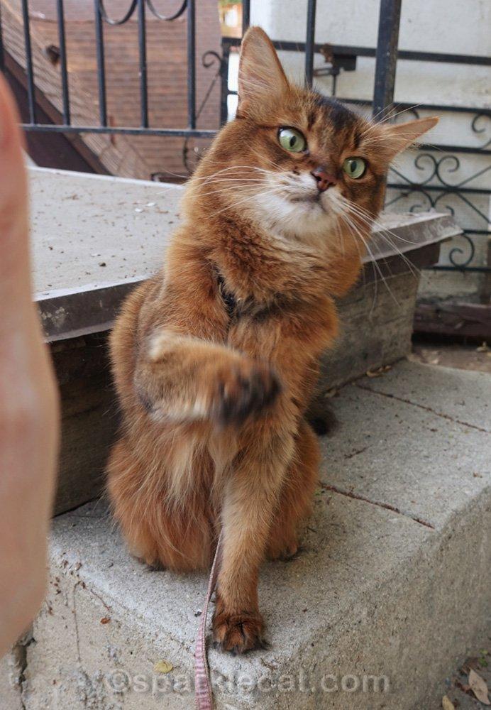 Somali cat in awkward high five pose