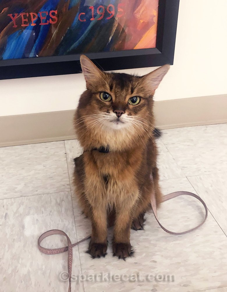 Impatient Somali cat at the end of a therapy cat visit