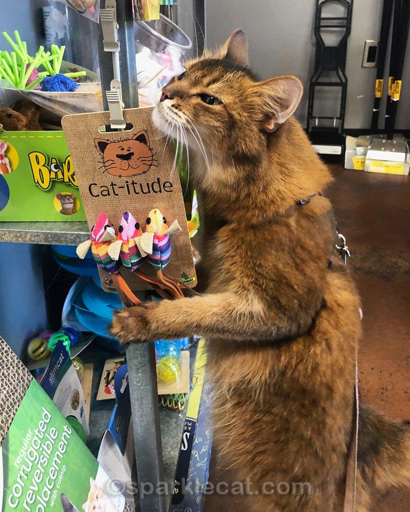 somali cat rubbing on cat toys at pet shop