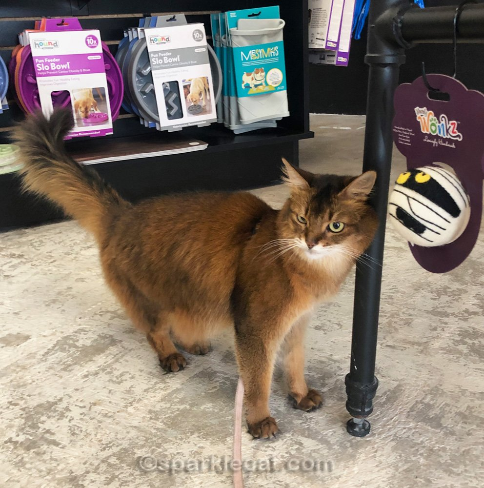 Somali cat butting head on table leg in pet shop