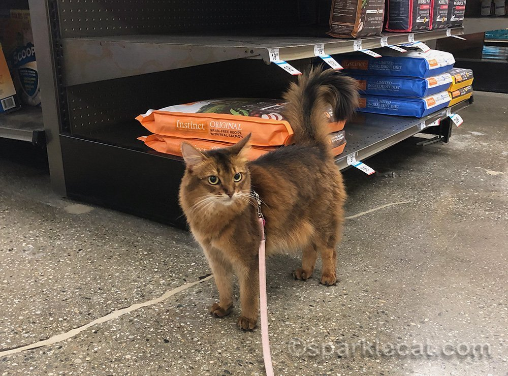 somali cat on leash at pet store