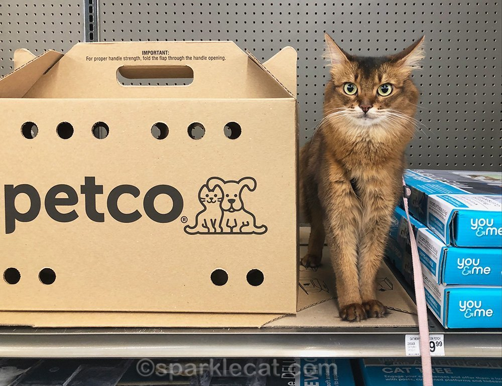somali cat not fond of cardboard carrier