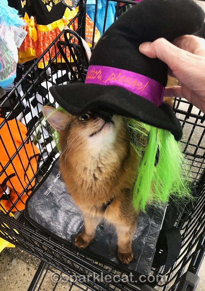 somali cat looking at witch hat on a shopping trip