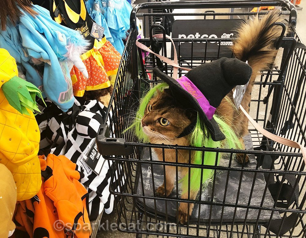 somali cat looking at pet halloween costumes