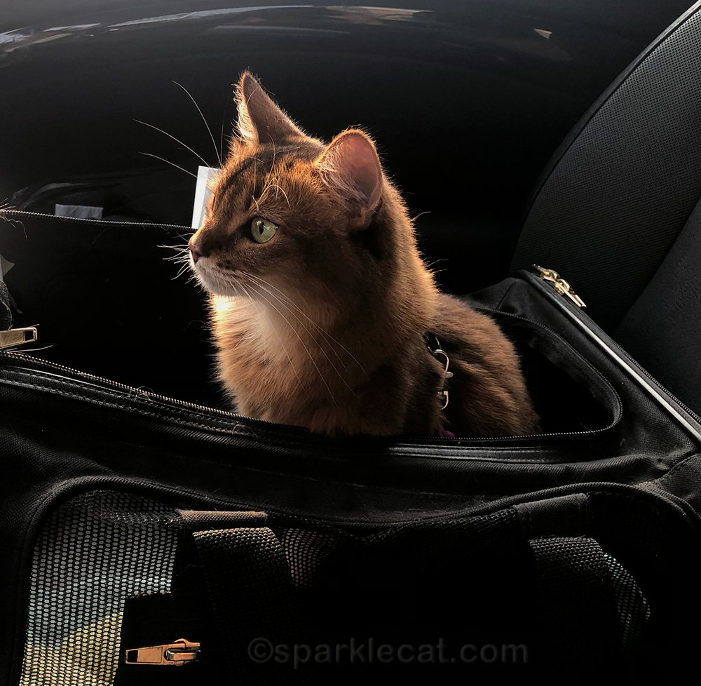 somali cat patiently waiting in the car for her vet visit