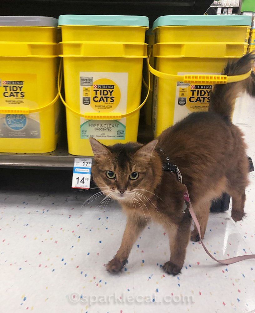 somali cat on leash in pet store