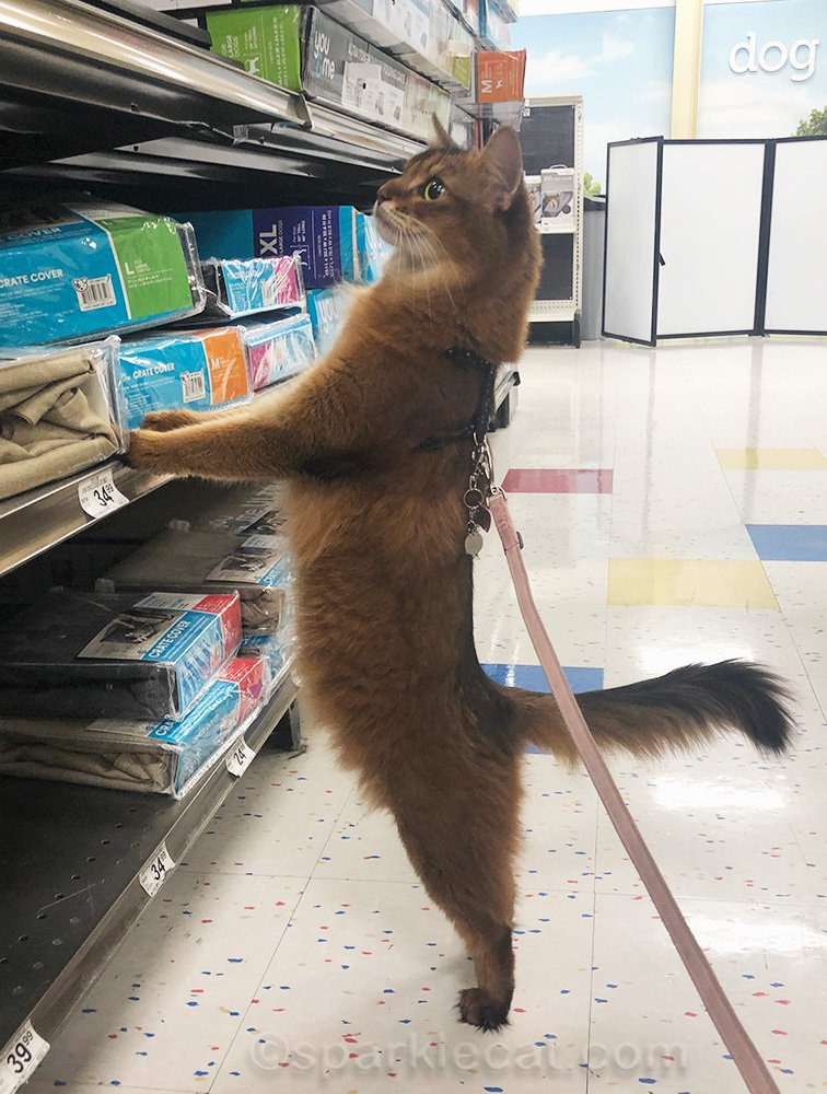 somali cat on hind legs in crate aisle of pet store