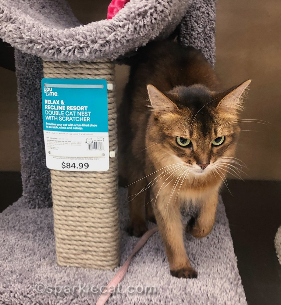 somali cat making happy paws on cat tree in pet store
