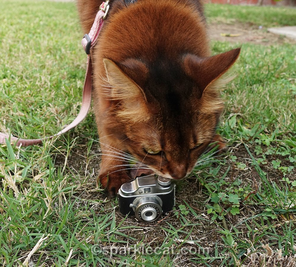 somali cat checking out satellite camera