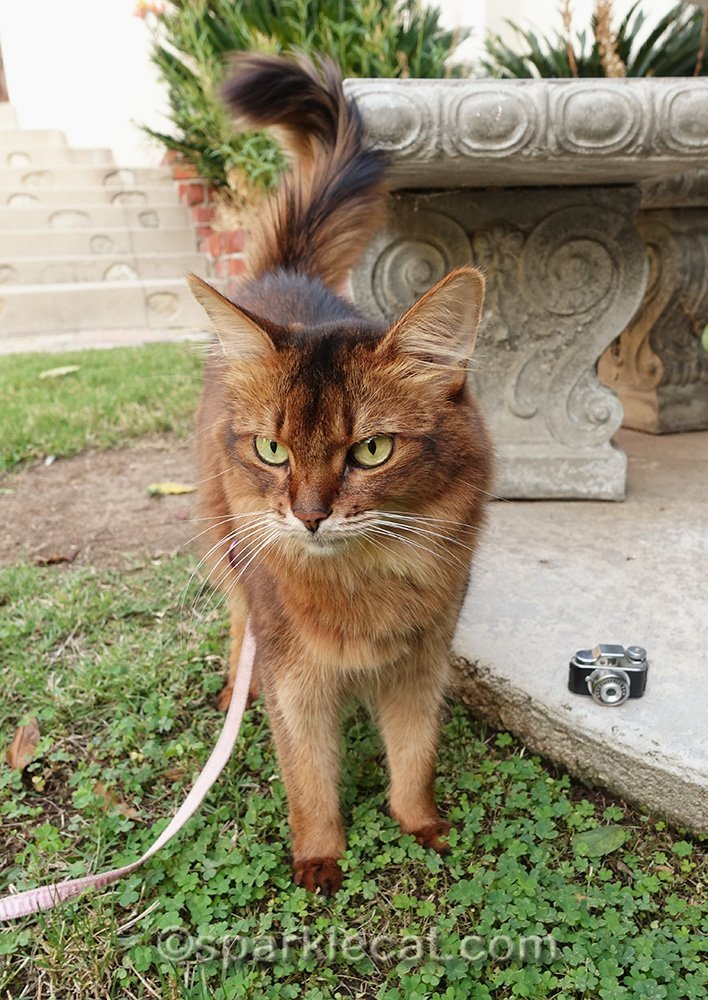 somali cat frustrated about being a cat photographer