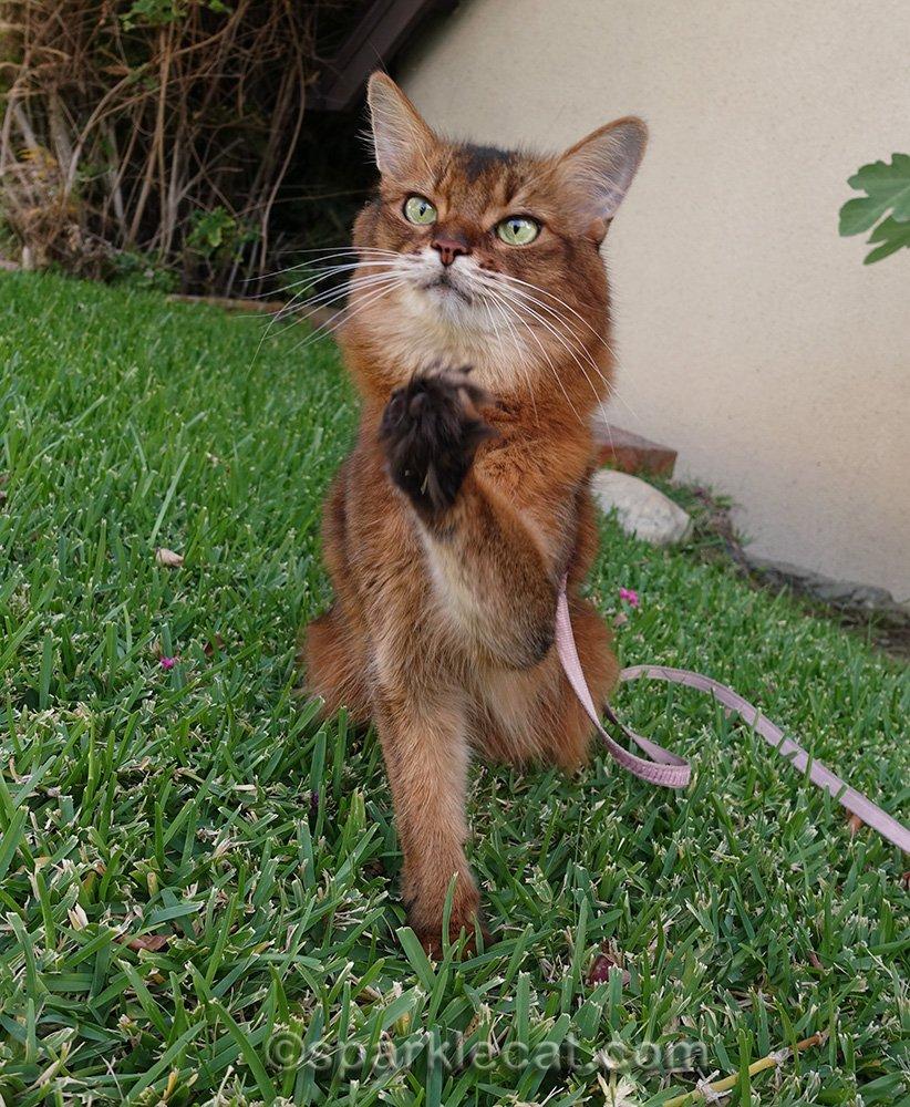 somali cat with paw raised