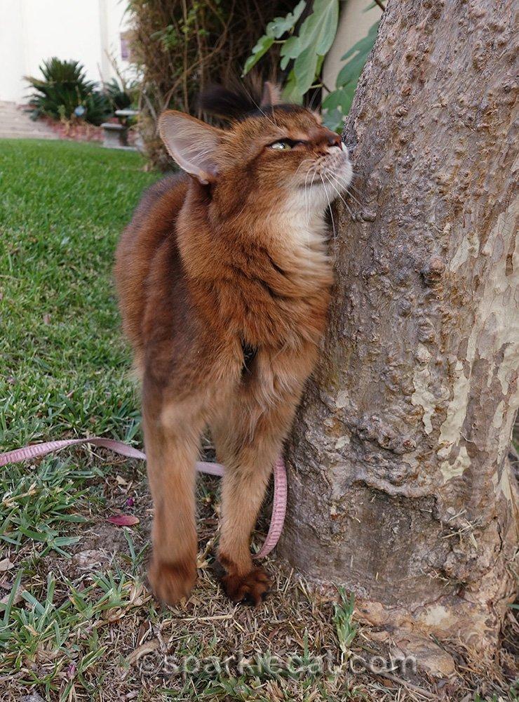 somali cat rubbing on tree