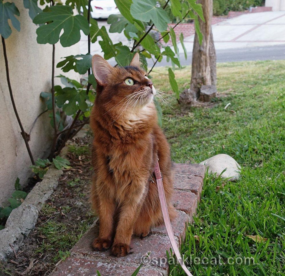 somali cat outside bird watching