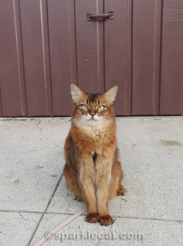 Somali cat sitting in front of freshly painted garage door