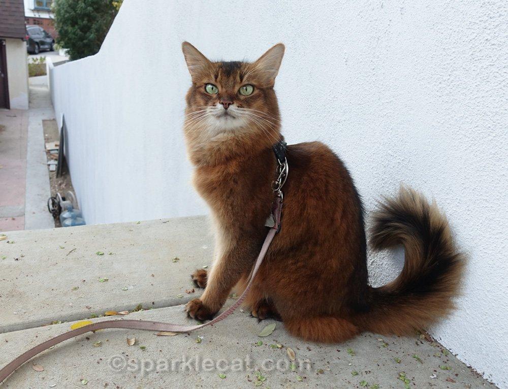 Somali cat sitting near freshly painted wall