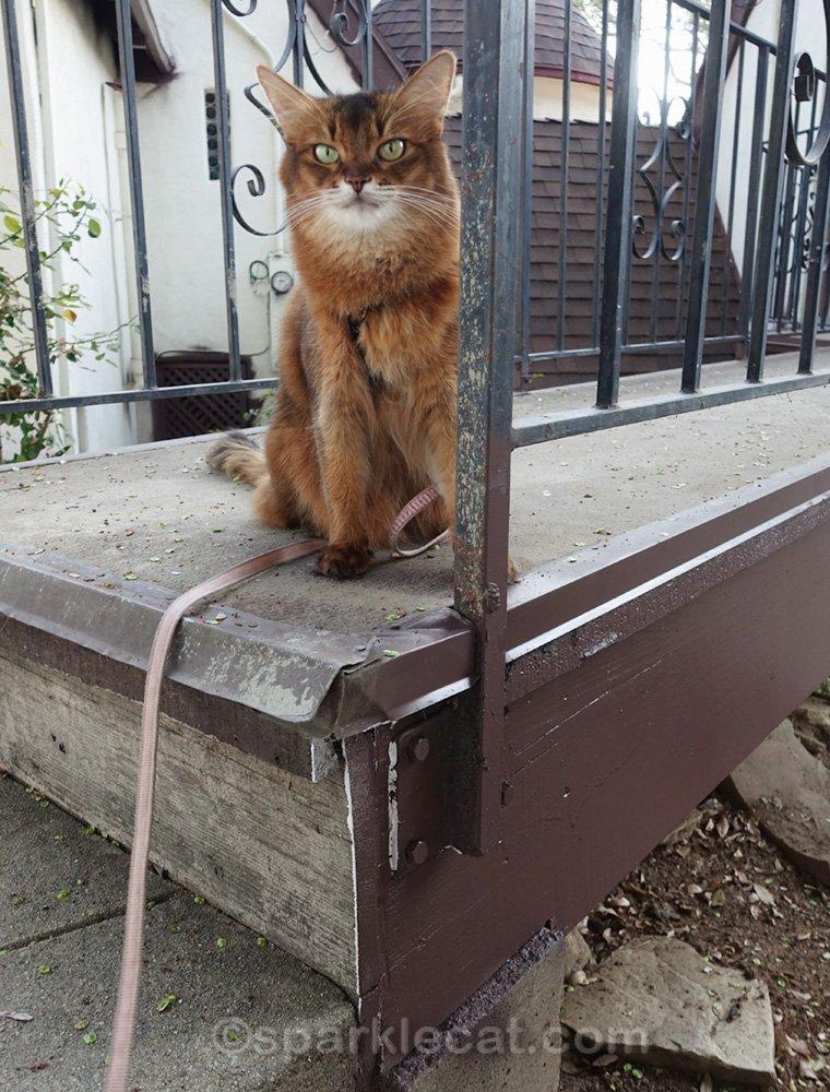 Somali cat on partially painted bridge