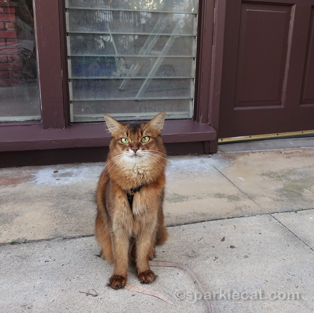 Somali cat sitting in front of freshly painted enclosed patio exterior