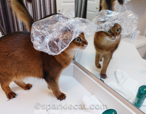 somali cat wearing shower cap in front of mirror