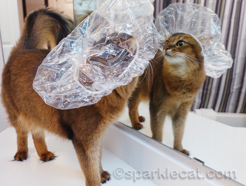 somali cat reacts to sight of herself wearing shower cap in mirror