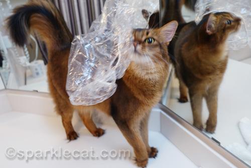 Somali cat shakes off shower cap