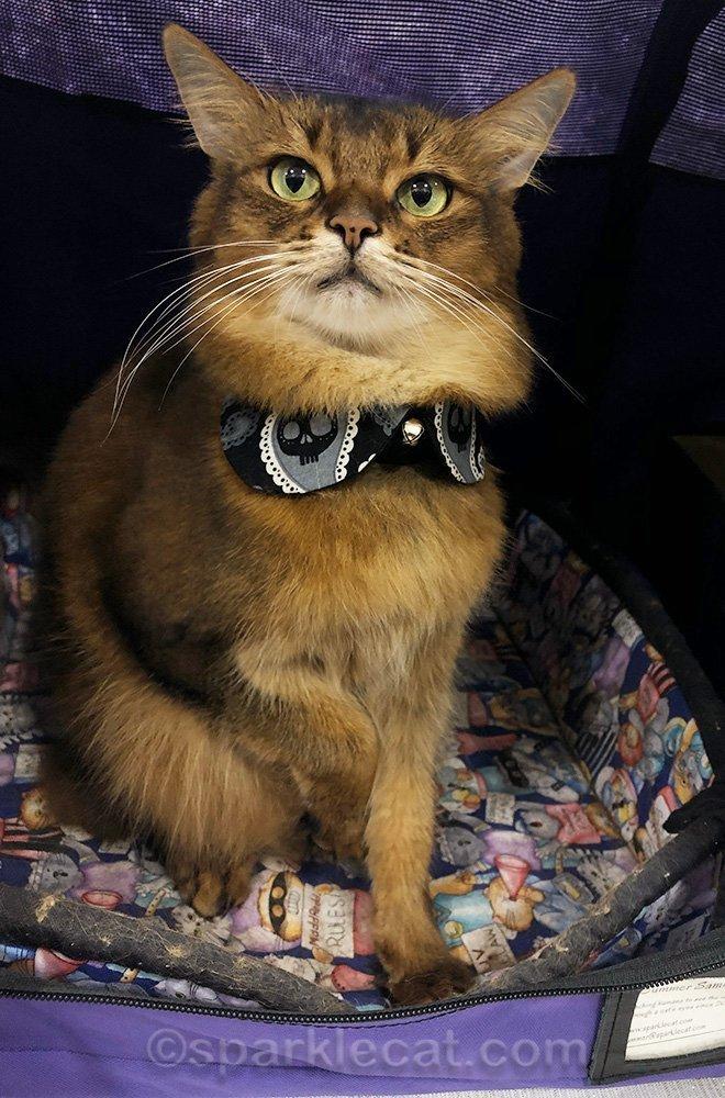 somali cat in peter pan collar at cat show
