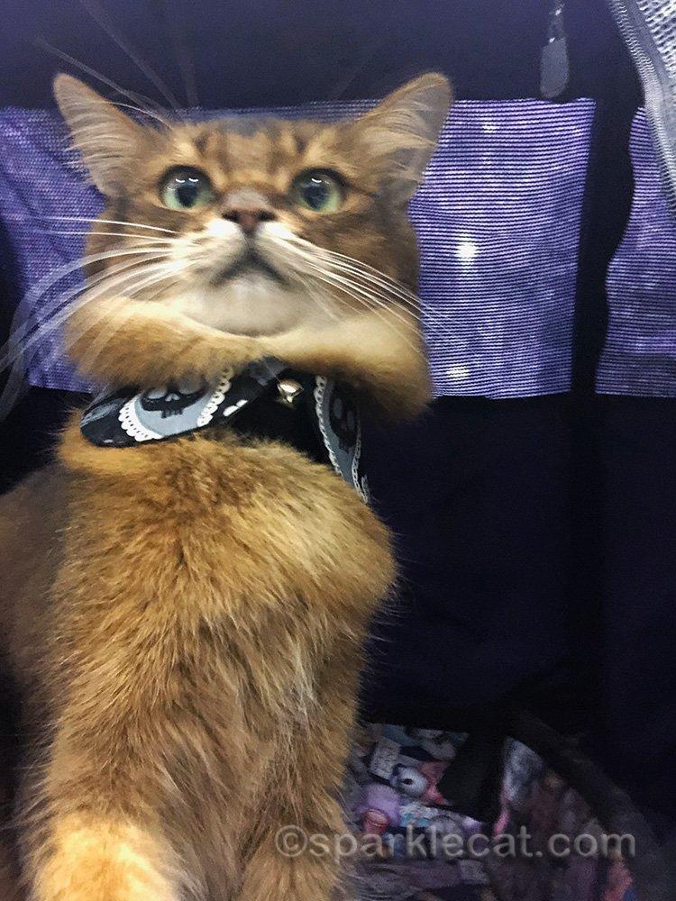 somali cat taking a terrible selfie