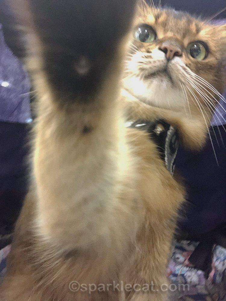 somali cat rearranging camera for selfies