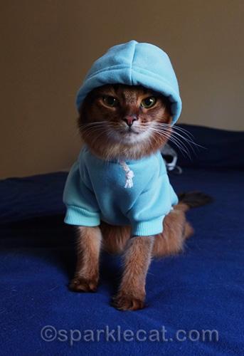 somali cat in blue hoodie