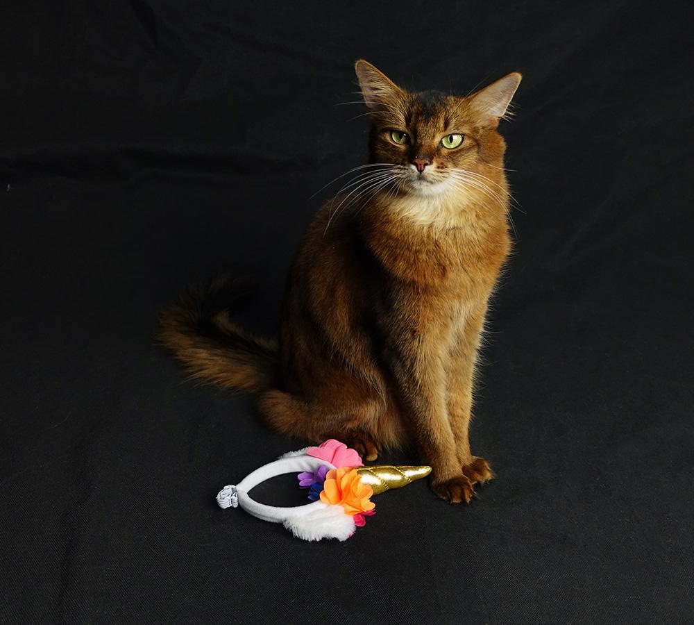 somali cat waiting for reward for wearing unicorn headdress