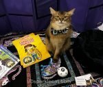 somali cat ready for a fun cat show weekend