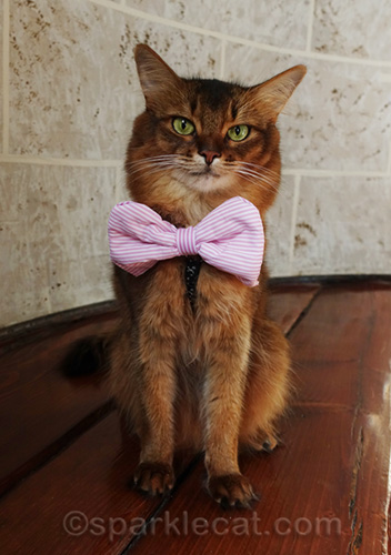 somali cat posing in pink striped bow tie