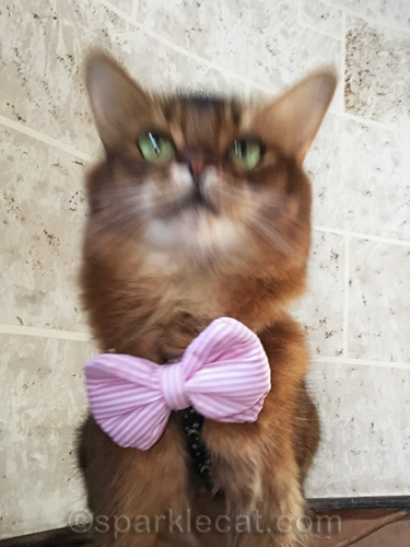 somali cat blurred selfie with bow tie