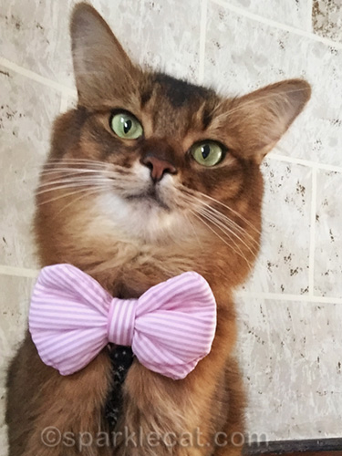 somali cat posing for selfie wearing new bow tie