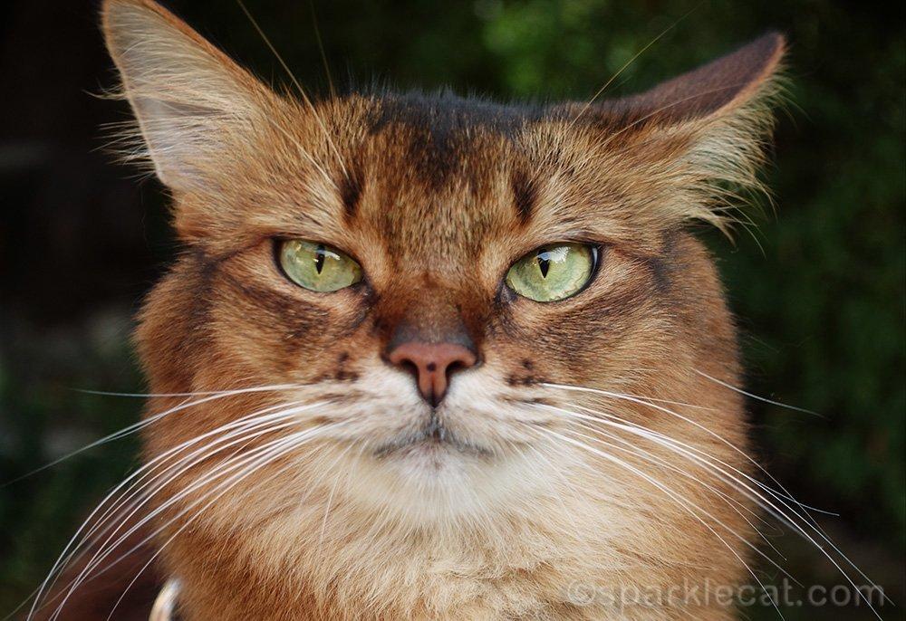 skeptical somali cat photo flub