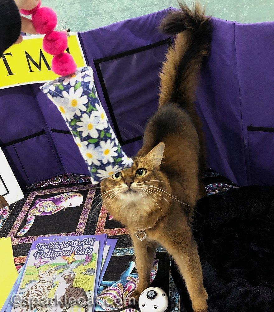 somali cat looking at kicker toy