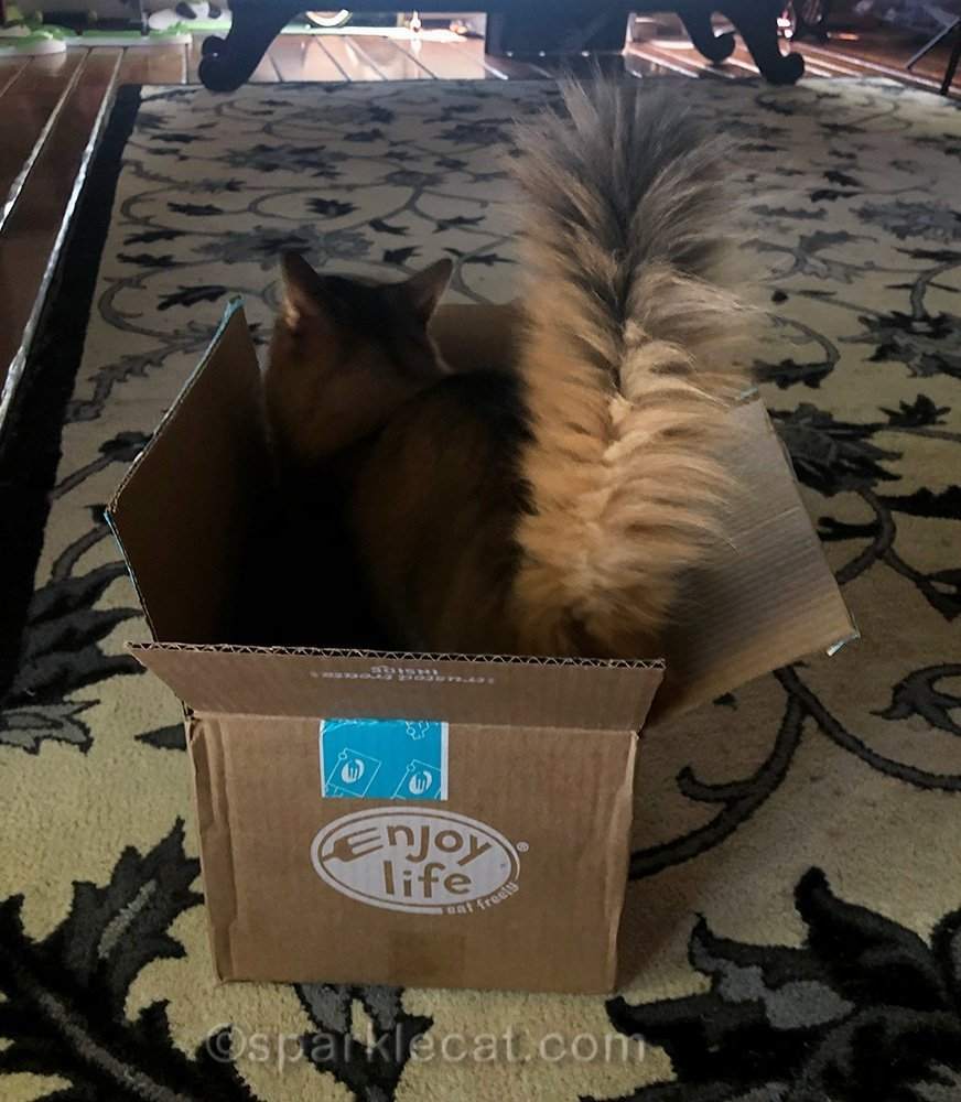 somali cat's tail sticking up from box