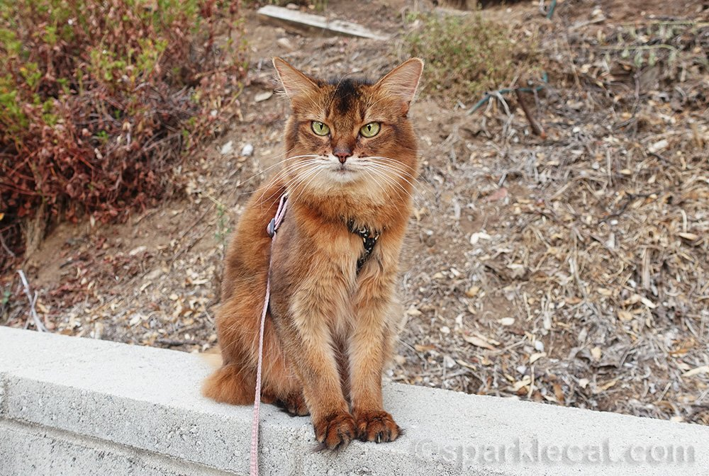 somali cat in front of a hill in brown season
