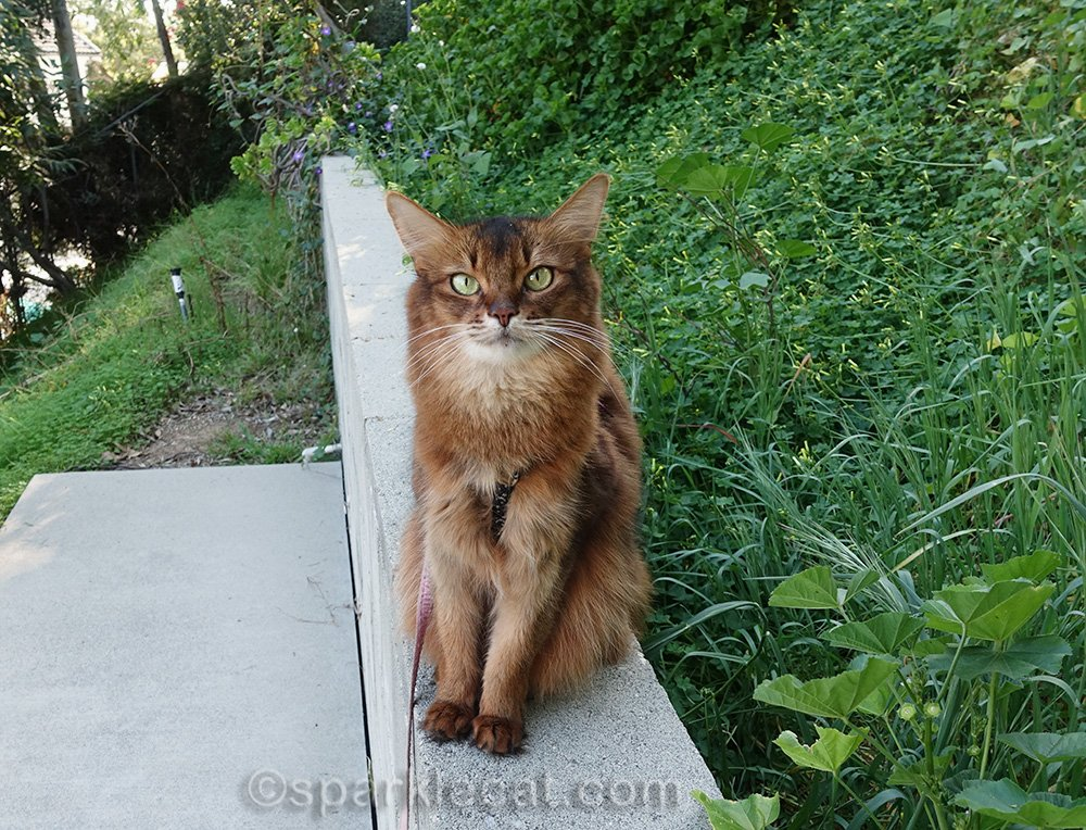 somali cat on concrete wall in March