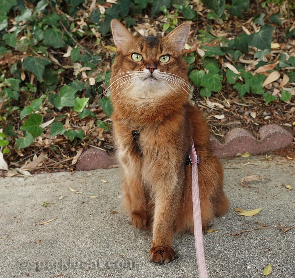 somali cat in front of ivy during brown season
