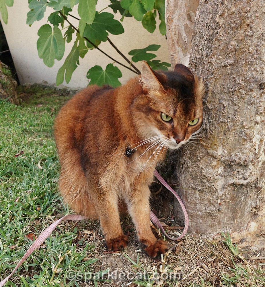 somali cat giving tree a head bonk